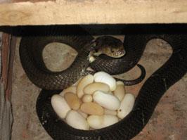 Kinh nghiệm nuôi rắn hổ mang và hổ trâu