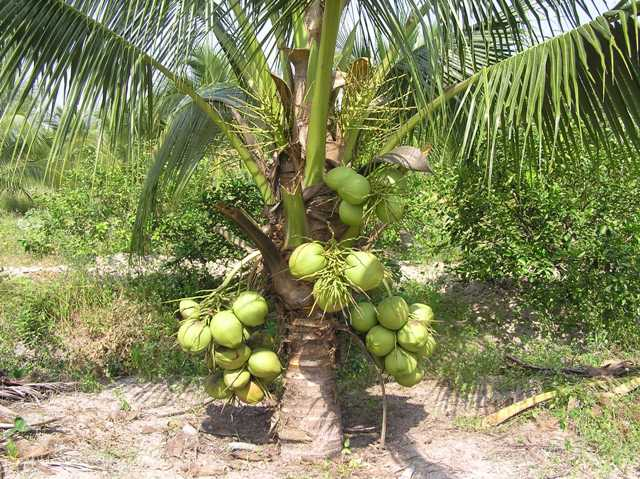 Kỹ thuật Trồng Dừa dứa (Aromatic Coconut)