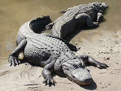 Kỹ thuật nuôi cá sấu - Phần 1