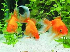 Mô hình nuôi cá chép kiểng ở Sa Đéc