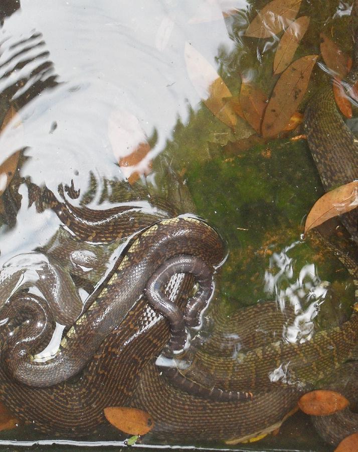 Mô hình nuôi rắn ri voi bước đầu hiệu quả