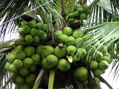 Giống mới cây ăn trái có nhiều tiềm năng và cơ may nhất