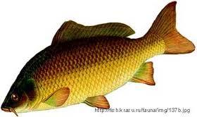 Sản xuất giống và nuôi cá chép