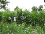 Lào Cai: Triển khai thành công mô hình trồng cỏ voi VA06 tại thôn Chỉu Cái