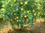 Bình Phước: Trồng và chăm sóc cây quất ra quả dịp Tết nguyên đán