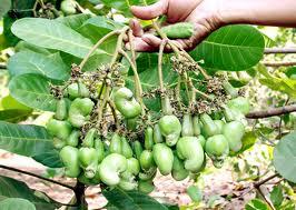 Kỹ thuật trồng và chăm sóc cây điều
