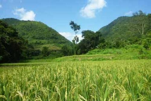 Giống lúa xanh siêu cao sản cuộc cách mạng thân thiện môi trường