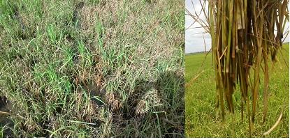 Biện pháp quản lý bệnh đạo ôn & bệnh vi khuẩn gây thối gốc trên lúa Hè thu 2012