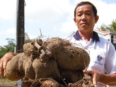 Cây khoai mỡ mang phồn thịnh về Đồng Tháp Mười