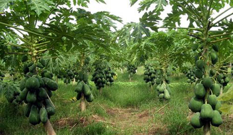 Ninh Thuận: Bí quyết hay chăm sóc đu đủ của anh nông dân