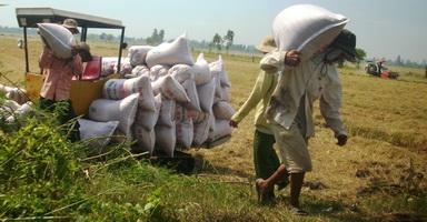 Liên kết cứu hạt lúa đồng bằng