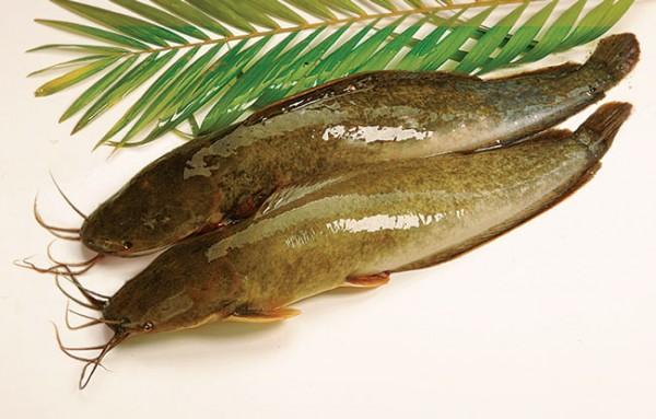 Hiệu quả kinh tế từ mô hình nuôi cá trê vàng lai
