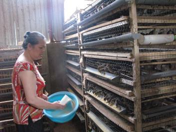 Lai Châu: Nghề nuôi chim cút đẻ đơn giản mà cho thu nhập cao