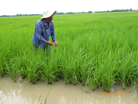 Nông dân đổ xô trồng lúa Nhật