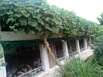Vĩnh Phúc: Chống nóng chuồng nuôi bằng cây sắn dây