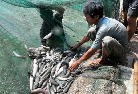 Đồng Tháp: Phát triển diện tích nuôi cá lóc ở Tam Nông