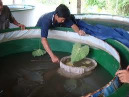 Quy trình sản xuất giống cá sặt rằn cải tiến