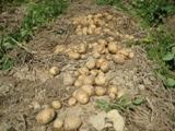 Quy trình trồng khoai tây bằng phương pháp làm đất tối thiểu có phủ rơm rạ