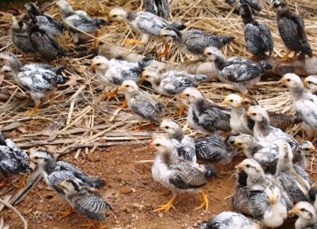 Độc đáo mô hình nuôi gà tre thương phẩm theo hướng an toàn sinh học