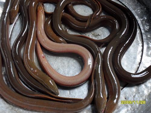 Sản xuất lươn đồng –hiệu quả và triển vọng