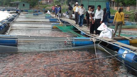 Quảng Nam: Hiệu quả mô hình nuôi cá diêu hồng lồng theo hướng VietGAP