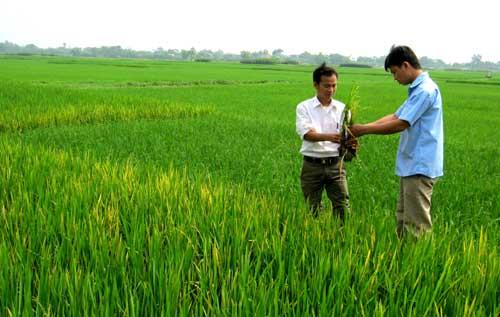 Chủ động phòng trừ sâu bệnh bảo vệ lúa mùa