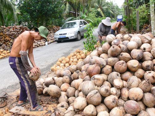 """Cánh đồng mẫu Dừa ở Châu Bình: Nét độc đáo của đội """"chuyên khâu"""""""