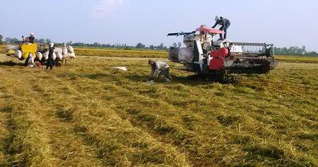 Sản xuất lúa Ma Lâm 202- bài toán chưa lời giải