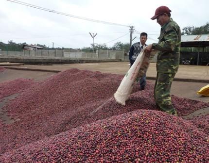 Hướng đến nâng cao chất lượng và giá trị Cà phê Buôn Ma Thuột