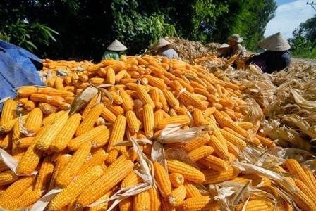 Hiệu quả từ mô hình chuyển đổi đất lúa kém hiệu quả sang trồng bắp lai