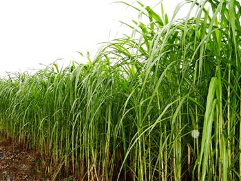 Tiền Giang: Trồng cỏ nuôi bò, dê đạt hiệu quả cao