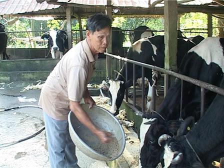 Cần Thơ: Nông dân Long Hòa khấm khá nhờ nuôi bò sữa