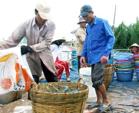 Nông dân nuôi tôm nước lợ có một vụ mùa thắng lợi