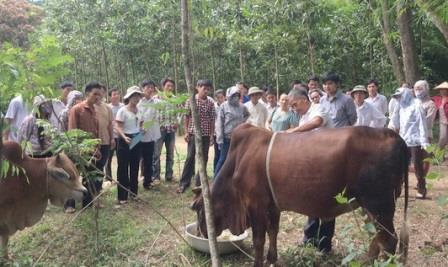 Hiệu quả mô hình vỗ béo bò thịt tại tỉnh Vĩnh Phúc