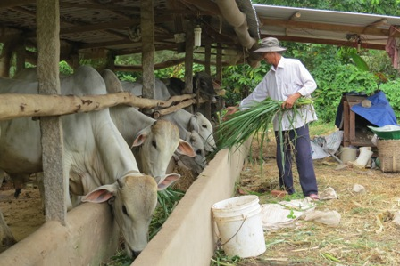 Mô hình trồng bắp non kết hợp chăn nuôi bò đạt hiệu quả