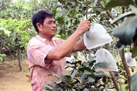 Ông Võ Tấn Kìa, ấp Bình Lục, xã Tân Bình (huyện Vĩnh Cửu) đang bao cho trái bưởi.