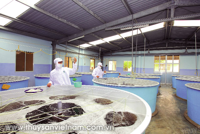 Trại sản xuất tôm giống của Công ty TNHH Giống thủy sản Minh Phú - Ninh Thuận Ảnh: CTV