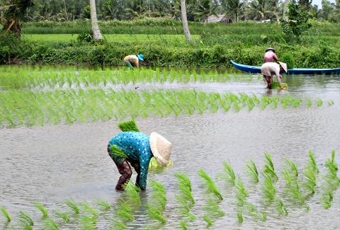 Nhờ rửa mặn tốt nên đến nay đã có nhiều hộ tiến hành cấy lấp vụ lúa trên đất nuôi tôm.