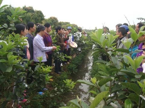 Tập huấn hiện trường về kĩ thuật trồng ổi VietGAP tại Hải Dương
