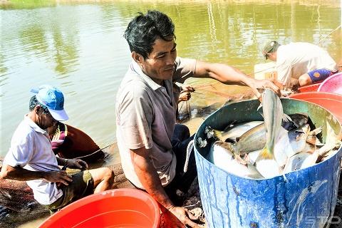 Không chỉ bén duyên tốt, con cá bông lau còn mang lại lợi nhuận khá cao cho người nuôi xứ cù lao.