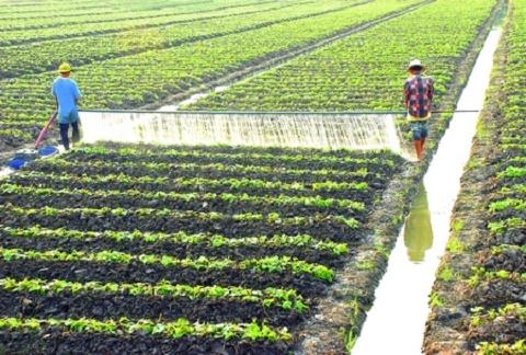 Xứ rẫy Bình Tân thích hợp trồng nhiều loại rau màu