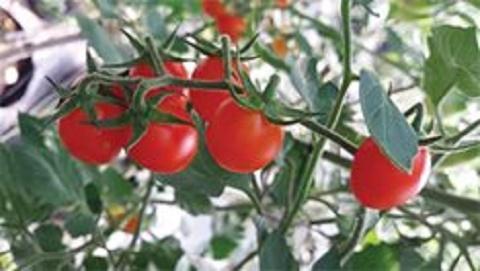 Chọn giống cà chua triển vọng
