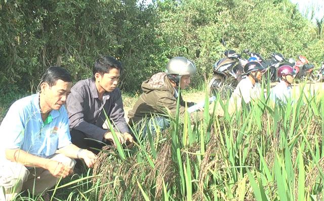 Tham quan ruộng lúa tím than của Hợp tác xã dịch vụ nông nghiệp Tân Cường