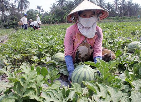 Sản xuất nông sản theo hướng GAP giúp cho đời sống người dân được nâng cao nhờ giảm chi phí, tăng lợi nhuận.
