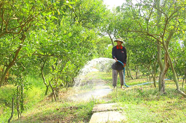 Nông dân Lai Vung tích cực chăm sóc vườn cây có múi